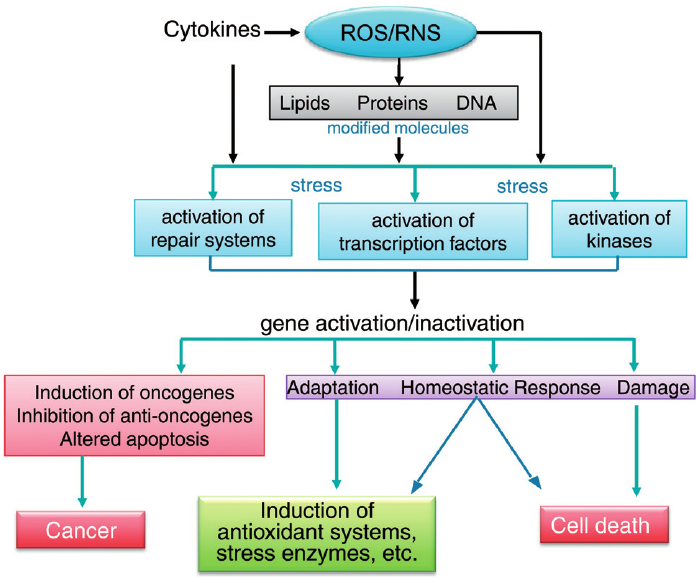 role of oxygen free radical in cancer promotion essay The reactive oxygen species produced in cells include hydrogen peroxide (h 2 o 2), hypochlorous acid (hclo), and free radicals such as the hydroxyl radical ( h) and the superoxide anion (o 2 −) the hydroxyl radical is particularly unstable and will react rapidly and non-specifically with most biological molecules.